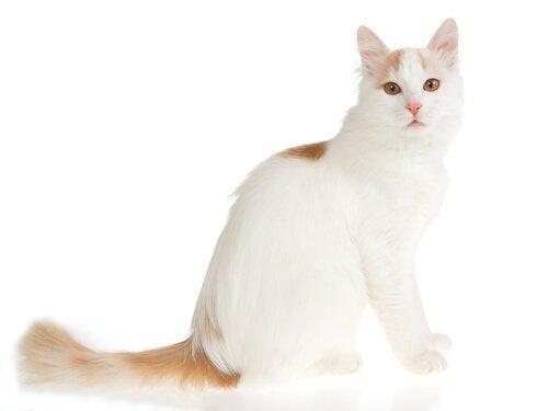le van turc fait partie des grands chats
