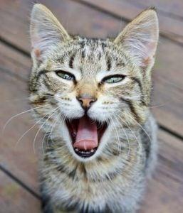 les chats peuvent temporairement perdre leur voix
