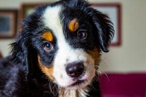 races de chien espagnole : bouvier