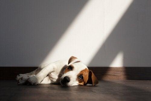 Les parasites intestinaux chez le chien
