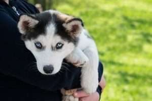 yeux bleus du husky sibérien
