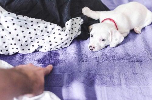 comment éviter à son chien d'uriner dans le lit