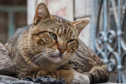 démence sénile des chats