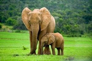 phéromones chez les éléphants