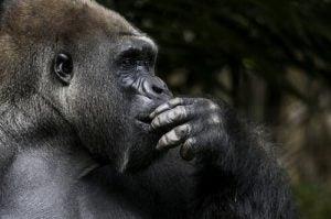 Koko la gorille avait un esprit prodigieux