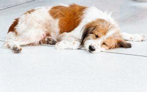 épilepsie chez les chiens