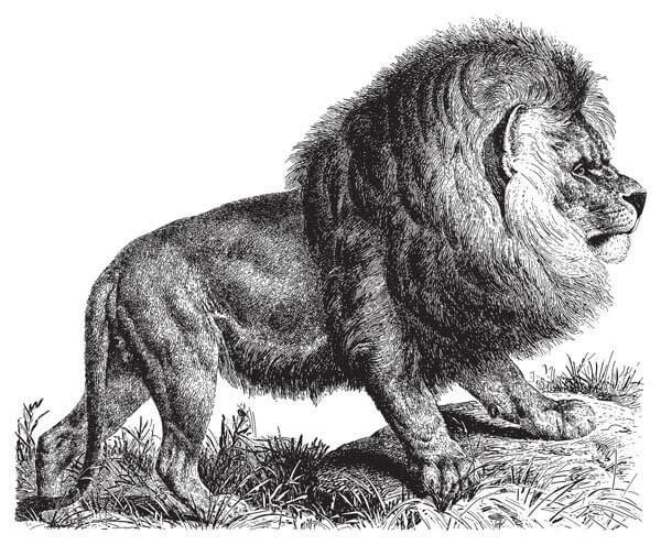 le lion et les félidés