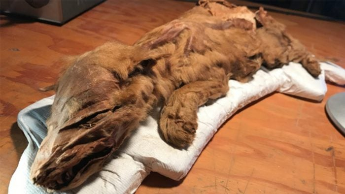 Découverte d'un louveteau momifié au Canada
