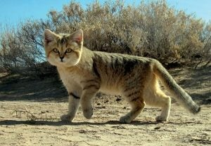 Tanuki et chats sauvages