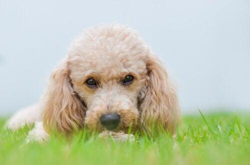 Les petits chiens domineront le monde dans le futur