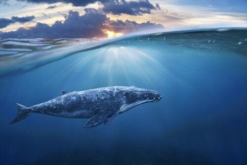 Le stress des baleines pendant la seconde guerre mondiale