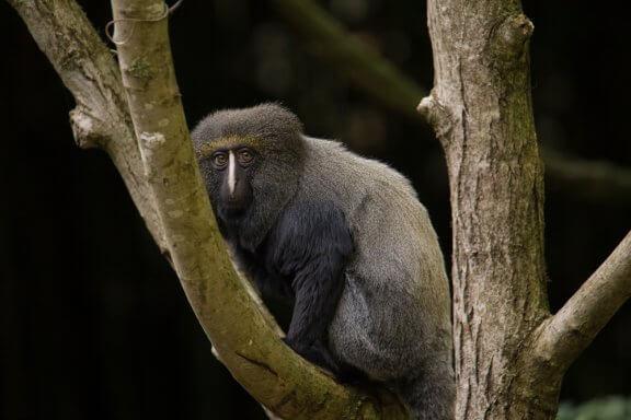 Le cercopithèque à tête de hibou : caractéristiques et habitat