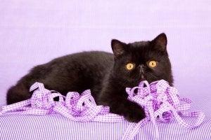 le chat exotique fait partie des races de chats les plus affectueuses