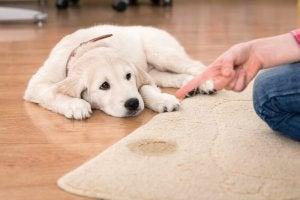 protections absorbantes pour chiens