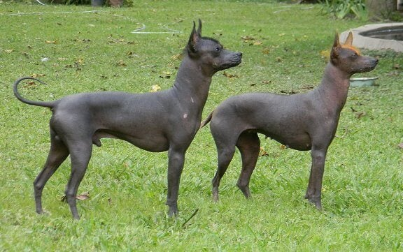 Le chien pila argentin, l'une des petites races sans poils