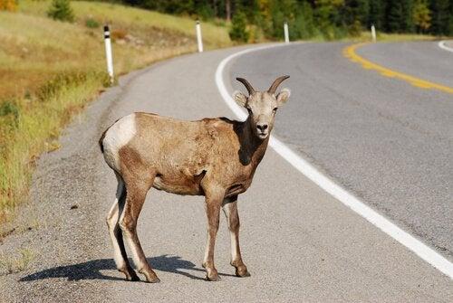 Que faire si on vient de renverser un animal avec son véhicule ?