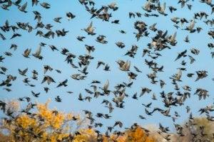 origine des oiseaux : étourneaux dans le ciel