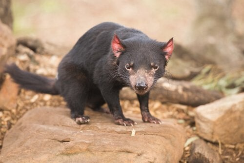 L'Australie, le pays des marsupiaux