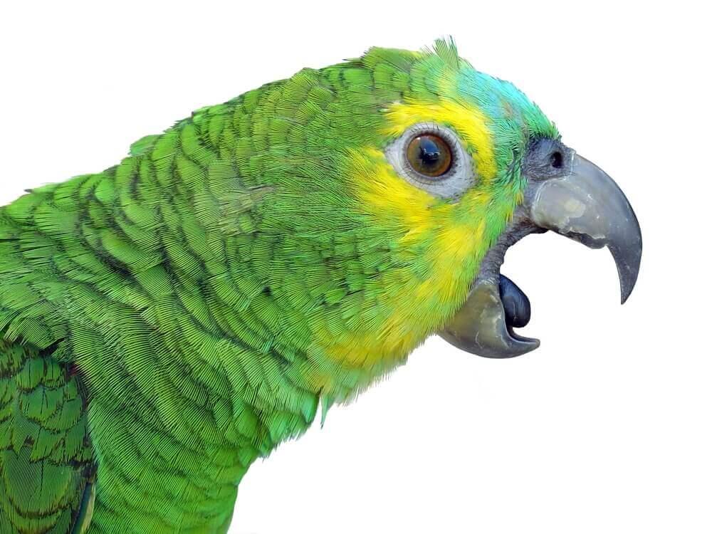 les perroquets parlent mais comprennent-ils ?