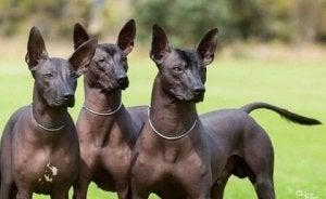 chien pila argentin