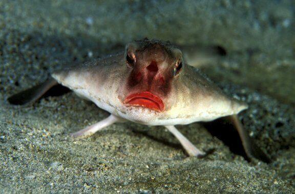 Poisson chauve-souris aux lèvres rouges