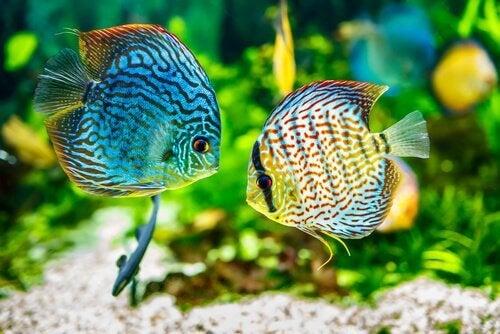 La maladie du velours chez les poissons