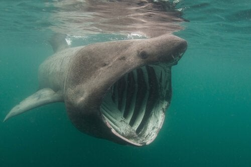 Requin pèlerin : habitat et caractéristiques