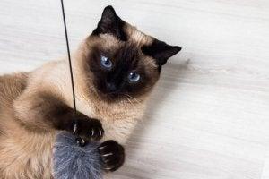 races de chats les plus affectueuses : le siamois