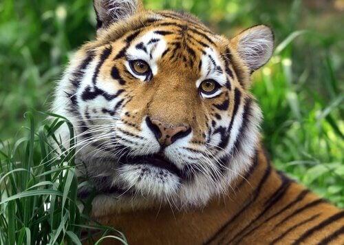 Le tigre sauvage