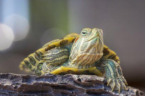La rhinite chez les tortues et son traitement