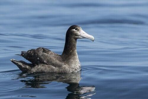 Un Albatros à queue courte sur l'eau
