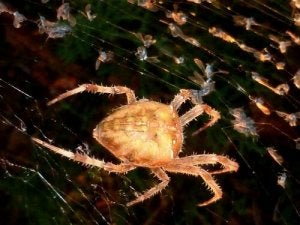 araignées souriantes