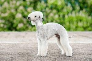 les races de chiens les plus étranges : le Bedlington terrier