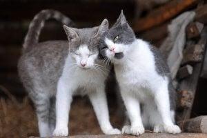 accouplements des chats en période de chaleurs