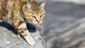 technique de chasse du chat