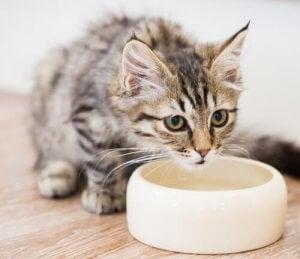 donnez de l'eau à son chat pour éviter qu'il ne souffre de la chaleur