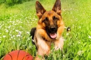 Ronaldog contrôle le ballon comme aucun autre chien