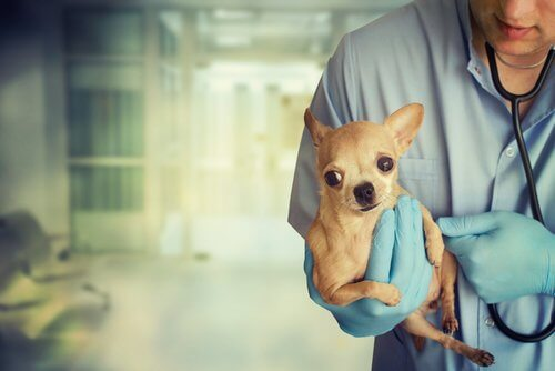 chien ayant subi un accident pris en charge par un vétérinaire