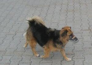 chien portant une muselière