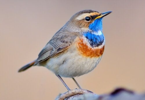 Le gorgebleue à miroir : caractéristiques de ce merveilleux oiseau