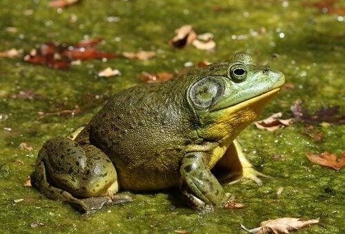 La grenouille-taureau, une espèce envahissante