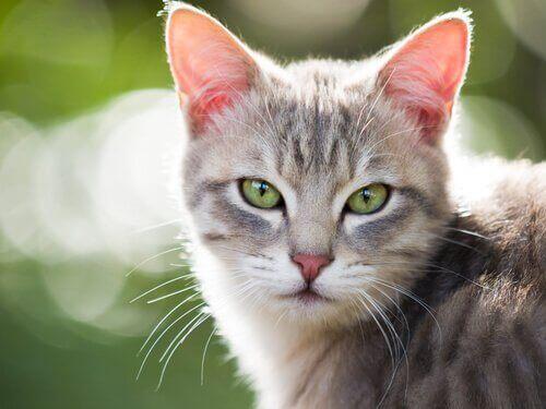 Les chats peuvent souffrir d'hyperthyroïdie