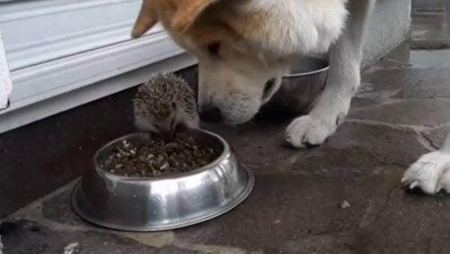 Le hérisson qui défiait le chien