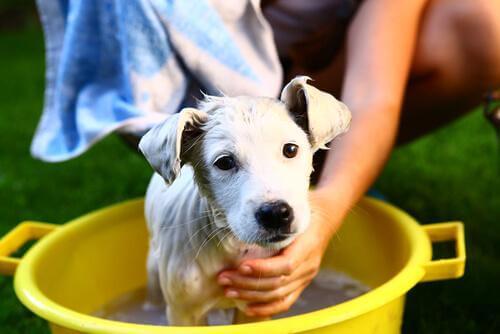 pour limiter les allergies à votre chien, lavez-le régulièrement