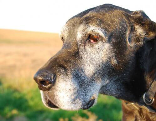 Quelle est l'origine des poils gris chez les chiens ?
