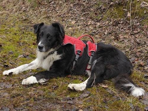 soins pour les chiens paralysés