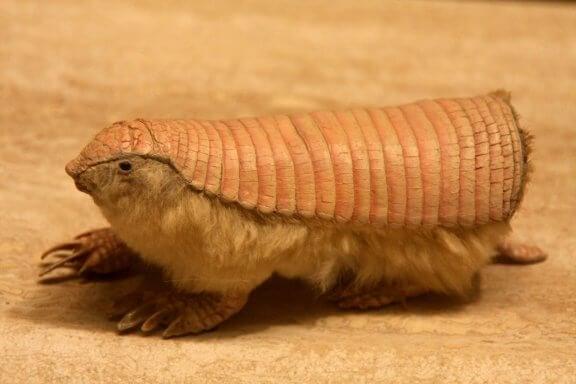 Le tatou tronqué : tout sur cette espèce animale