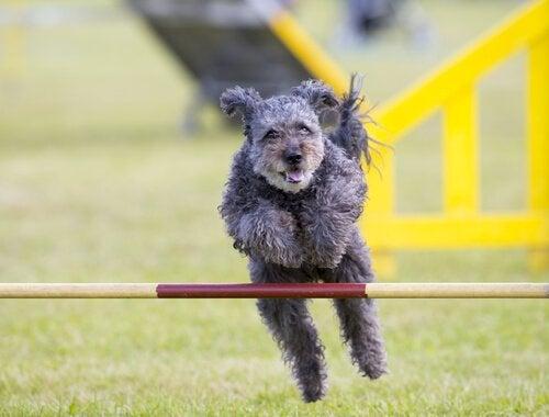 le pumi, une nouvelle race de chien
