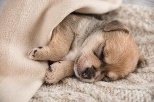 éducation de base : quand doit dormir un chiot