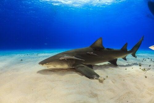Curiosités sur le requin-citron